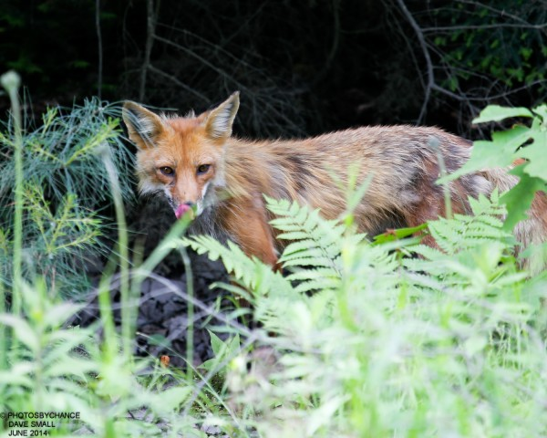 A red fox licks its lips