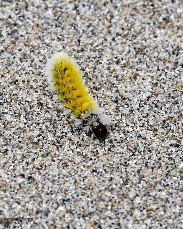 Saltmarsh caterpillar.