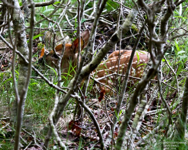A fawn lies in the grass.