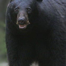 Lawmakers reject ban on bear trapping, dog use