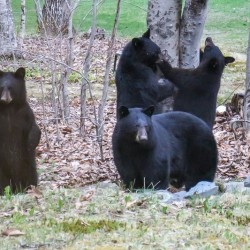 Nuisance bear trapped in Orono, taken to remote spot in Aroostook County