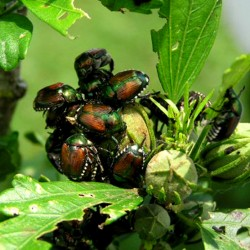 Japanese beetles orgies, people who leave their pets in hot cars, and damning the weather in all of its extremes