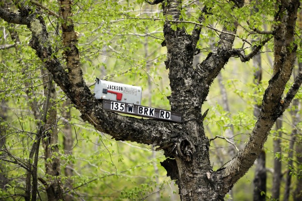 Its unlikely the mailman will climb this tree to deliver the mail in Weld, Maine.