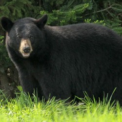 Black bears enter the annual foraging frenzy