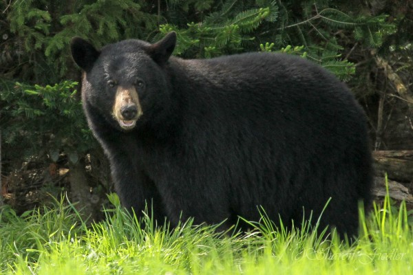 A black bear stands at the edge of the forest in Hancock in June 2014.