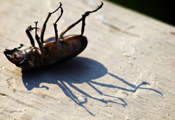 A dead stag beetle casts a shadow in the afternoon sun on my porch railing in Portland. We had a bunch of them hitch a ride to my house in a load of mulch.