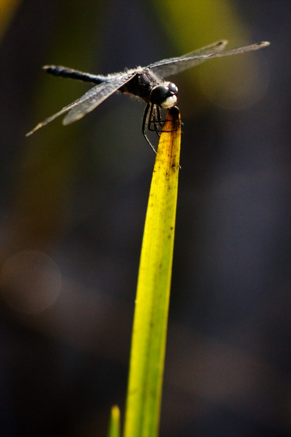 A Dragonfly rests on a blade of grass near a pond in Limington last week.