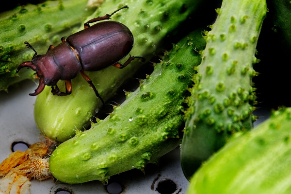 A stag beetle crawls among the cukes picked from my garden in Portland last month.