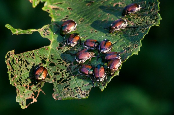 A gang of Japanese beetles teams up to munch on a leaf last week in Limington.