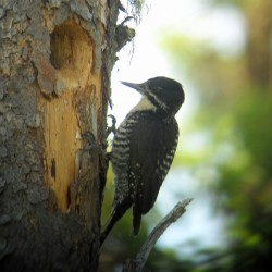 Red-bellied woodpeckers moving to Maine