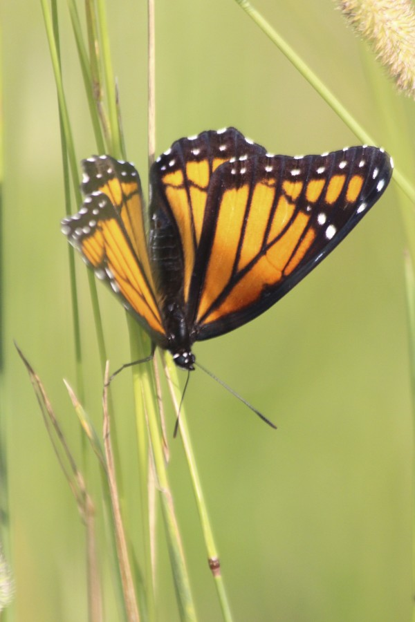 A viceroy butterfly, which people often mistake for a monarch, clings to vegetation in the field behind Cascade Park on July 31 in Bangor.