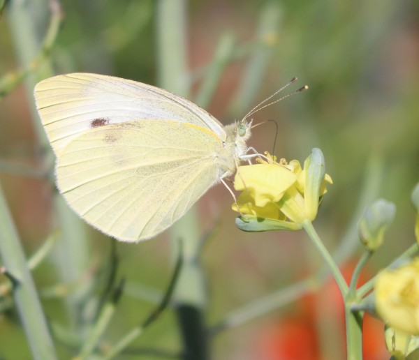 A cabbage white butterfly, one of the most commonly seen butterflies in Maine, perches on a broccoli flower in a raised bed garden on Tuesday in Brewer.