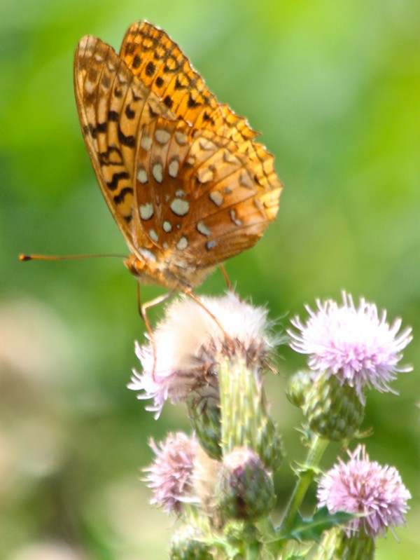 A fritillary butterfly perches on thistle on Aug. 3 at Triplet Park in Unity.