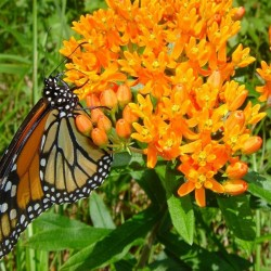Monarchs' reign threatened? Sharp drop in Maine butterfly population worries scientists