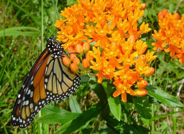 A monarch butterfly feeds on milkweed in this file photo.