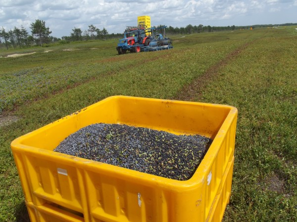 Plastic bin nearly filled with wild blueberries sits in foreground as tractor with mechanical harvesting equipment gathers blueberries in background on a blueberry barren in Columbia. Washington County is Maine's leading producer of wild blueberries.