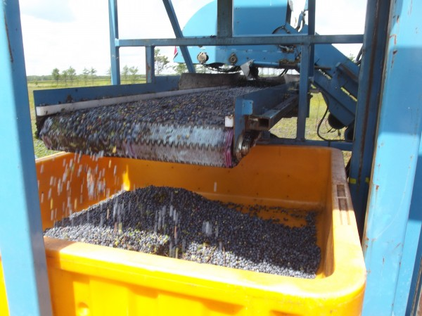 Wild blueberries harvested by machine tumble from conveyor into a plastic bin.