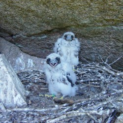 Peregrine falcons hatch chicks in national park