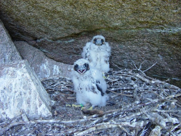 Two peregrine falcon chicks face off with a park photographer at a nesting site near Precipice Trail in Acadia National Park in 2008.