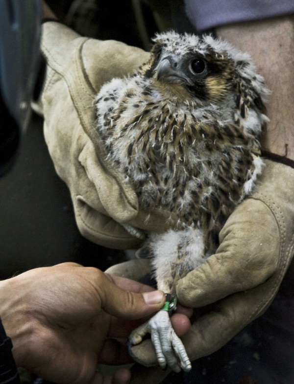 A peregrine falcon chick, hatched in the Echo Lake Beach area of Acadia National Park, is banded on June 1, 2012. Park officials are currently monitoring three falcon chicks learning to fly in that area.