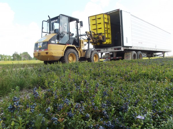 Plastic bins of wild blueberries are loaded into a trailer van where a crew contracted to Cherryfield Foods is conducting mechanical harvesting operations.