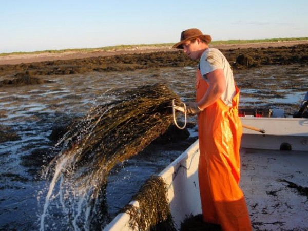 Jake Hunkler of Beals is shown harvesting rockweed by hand on Fisherman's Island during the summer of 2013 for an experiment by Brian Beal, professor of marine ecology at the University of Maine-Machias and director of research of the Downeast Institute.