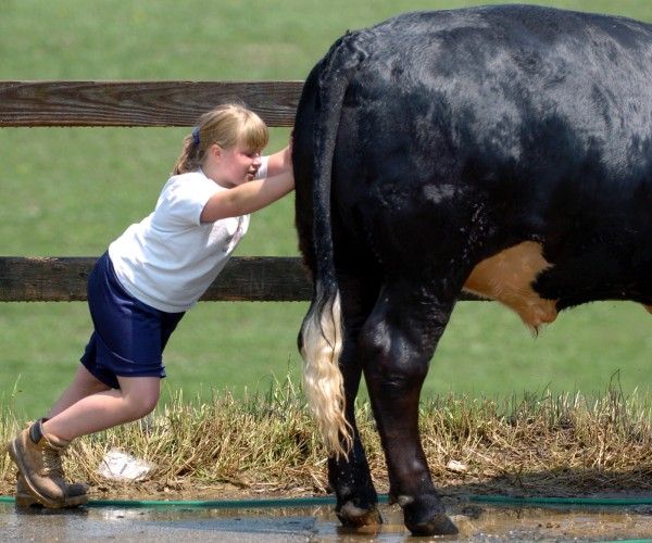 helby Patten, 10, from Atkinson tries to move her 1,400-pound Simmental steer named Fly while giving him a bath at the Bangor State Fair in preparation for her first 4-H competition.
