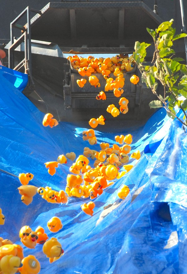 Ducks tumble from the back of a potato truck at the start of the International Duck Derby in Fort Kent.