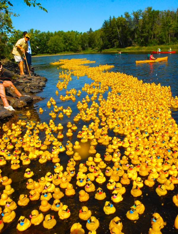 Five thousand rubber ducks begin to race down the Fish River in the International Duck Derby on Sunday.