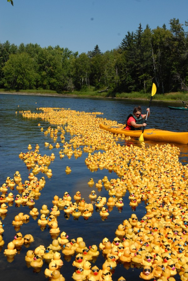 Kelsy Landry makes sure no rubber duck is left behind or drifts away at the International Duck Derby on Sunday.