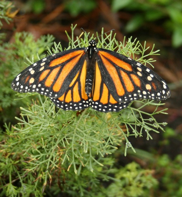 Black lines on the hind wings of a viceroy distinguish it from a female monarch, pictured here.