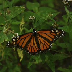 The butterfly effect: Monarchs continue to vanish from Maine fields