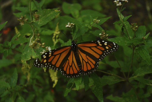A monarch butterfly sits on a bush at the Pedro Herrada butterfly sanctuary on a mountain in the Mexican state of Michoacan on November 23, 2012.