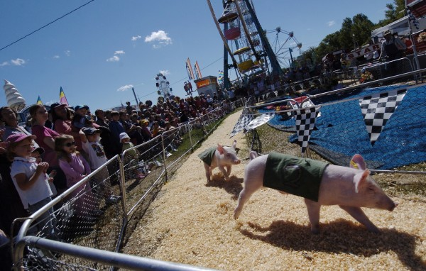 Rosie's Racing Pigs from Gibsonton, Florida round the bend as hundreds of fairgoers, young and old, cheer them on at the 2010 Blue Hill Fair.