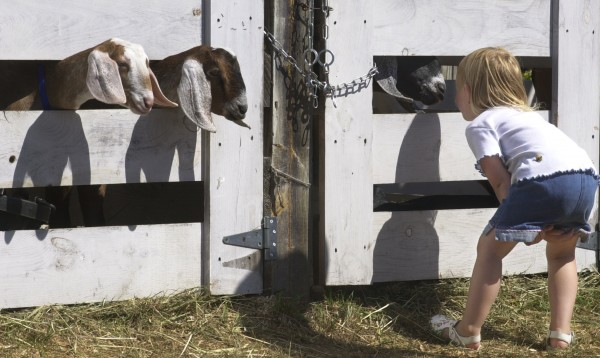 Abbie Elliot of Corinth gets a closer look at George and Rose Martikke's Nubian goats at the 2001 Blue Hill Fair.