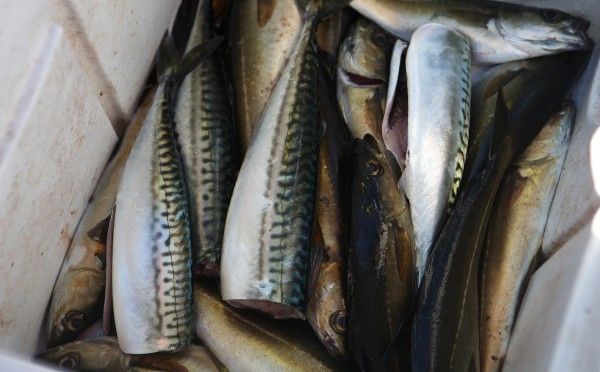 A cooler full of fresh mackerel and pollack sit on the deck of Capt. Pete Douvarjo's boat on Tuesday in Sedgwick.