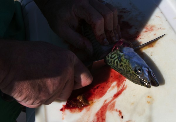 BDN's John Holyoke cleans a mackerel during a fishing trip on Capt. Pete Douvarjo's boat on Tuesday in Sedgwick.