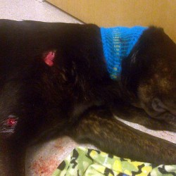 Medway dog recovering from wound after being shot by police officer