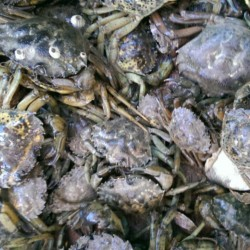 Is there 'green' to be found in invasive green crabs?
