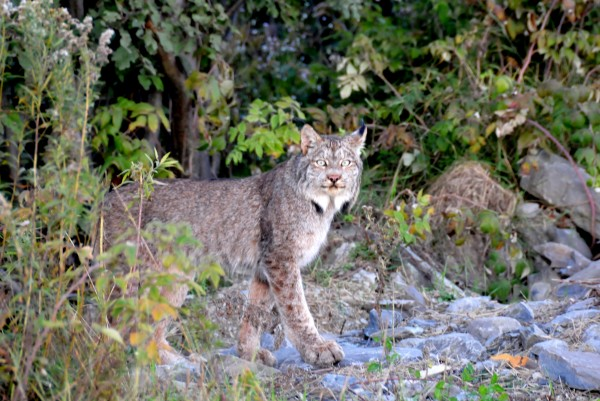 The upper end of Umsaskis Lake on the Allagash Wilderness Waterway is a good spot to see all kinds of wildlife, including Canada lynx like this one.