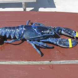 Another rare blue lobster caught in Mass.