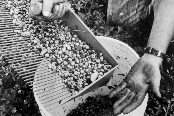 The hands of a blueberry picker taken Aug. 18, 1988.
