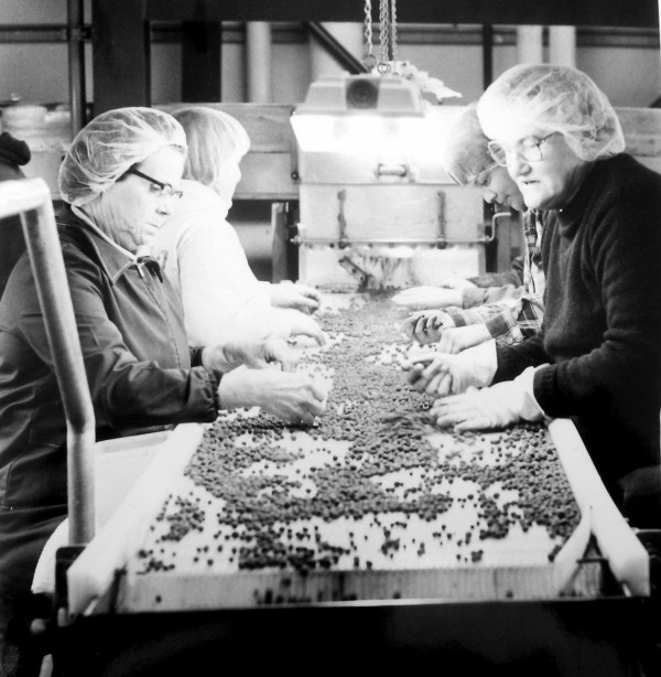 Workers grade blueberries for packaging taken Aug. 2, 1985.