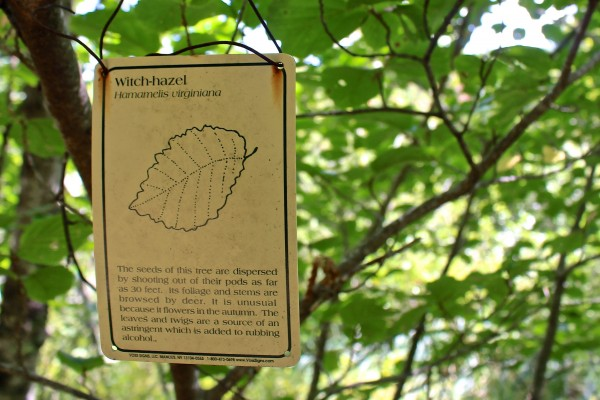 A witch-hazel shrub is labeled beside a trail of Hidden Valley Nature Center in Jefferson.