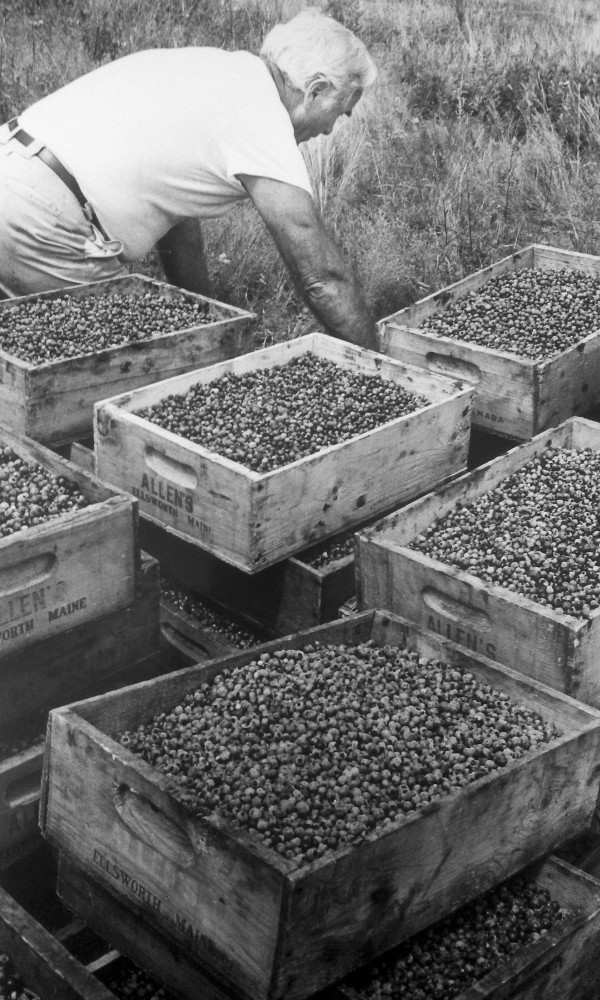 A blueberry worker stacks boxes of blueberries at the Norel Farm in Waldo County.  Circa 1989.