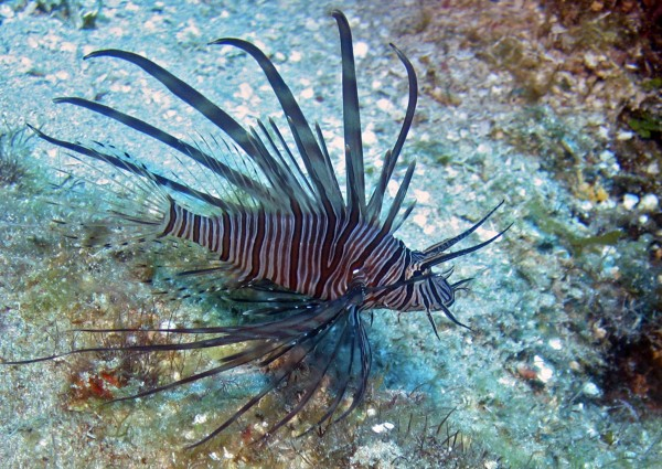 A lionfish is seen on the reefs off Roatan, Honduras, in this May 2010 file photo.
