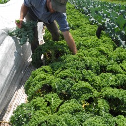 Farmers Market Corner:  Kale chips makes for nutritious eating