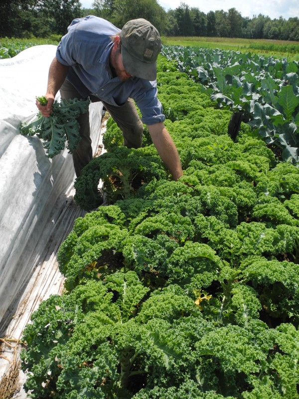 Maxwell Nolin picked kale Friday at the Village Farm in Freedom.