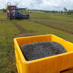 Blueberry harvest to begin in Maine