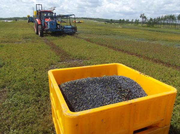 Machines -- like this tractor harvesting a blueberry barren in Columbia for Cherryfield Foods -- are playing an increasing role in the harvest of Maine's wild blueberry crop.